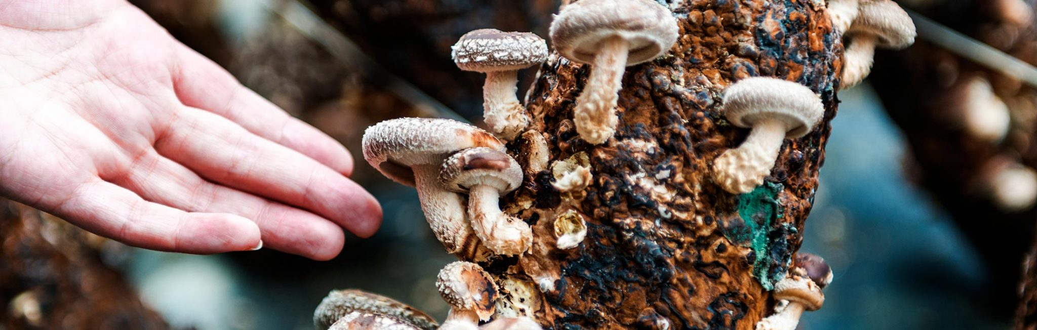 Low Cost and Low Tech Methods For Growing Mushrooms - Aloha Medicinals