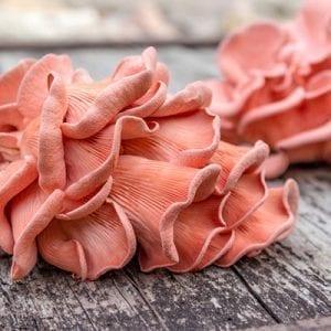 Pleurotus Salmoneostramineus - pink oyster