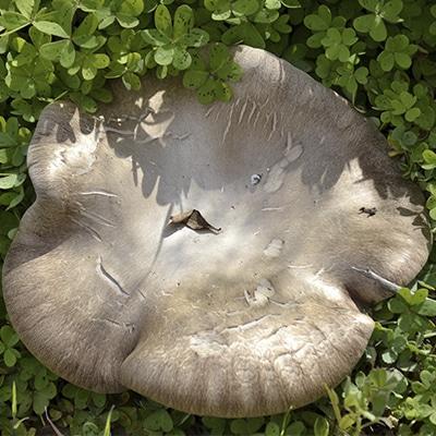 Pleurotus Ferulae