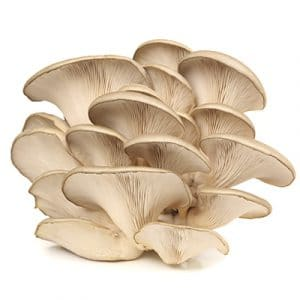 Pleurotus Ostreatus Chief Niwot (White)
