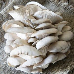 Pleurotus Ostreatus PL (White)